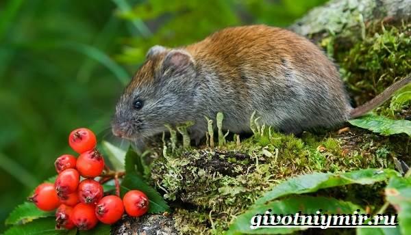 Полевка-мышь-Образ-жизни-и-среда-обитания-полевки-4