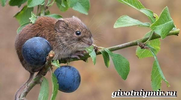 Полевка-мышь-Образ-жизни-и-среда-обитания-полевки-5