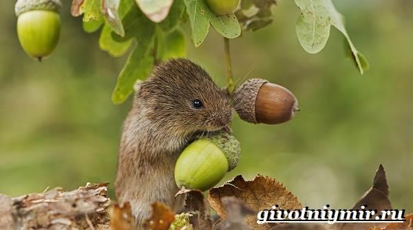 Полевка-мышь-Образ-жизни-и-среда-обитания-полевки-6