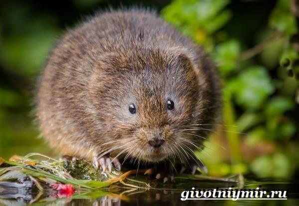 Полевка-мышь-Образ-жизни-и-среда-обитания-полевки-7