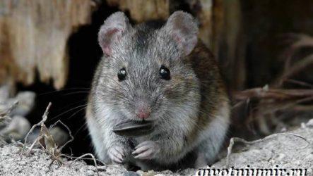 Полевка мышь. Образ жизни и среда обитания полевки