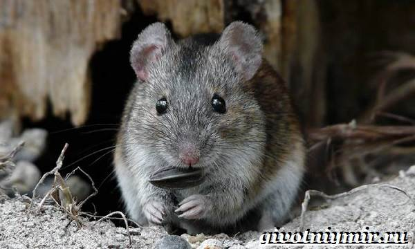 Полевка-мышь-Образ-жизни-и-среда-обитания-полевки-8