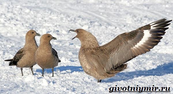 Поморник-птица-Образ-жизни-и-среда-обитания-поморника-10