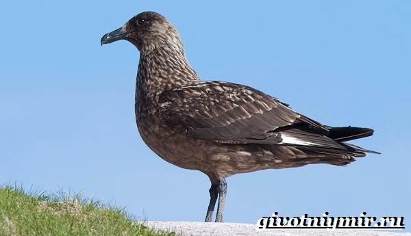 Поморник-птица-Образ-жизни-и-среда-обитания-поморника-2