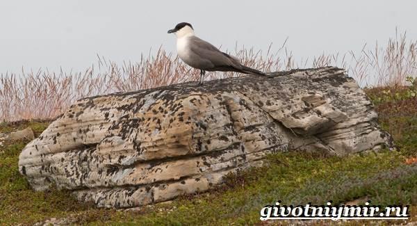 Поморник-птица-Образ-жизни-и-среда-обитания-поморника-3