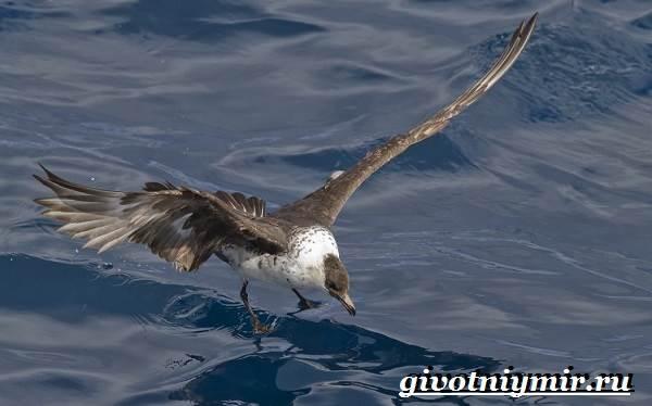 Поморник-птица-Образ-жизни-и-среда-обитания-поморника-4