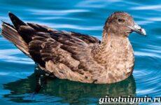 Поморник птица. Образ жизни и среда обитания поморника