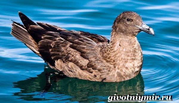 Поморник-птица-Образ-жизни-и-среда-обитания-поморника-6