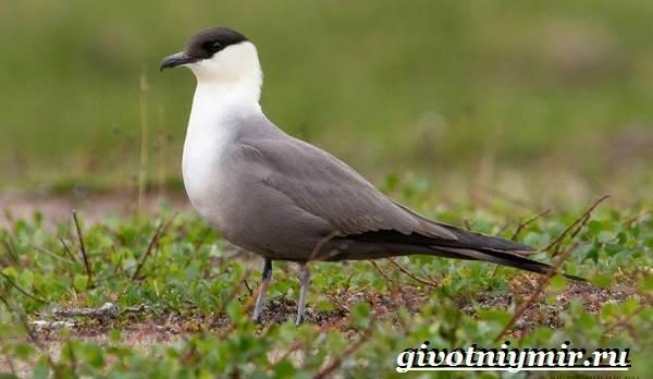 Поморник-птица-Образ-жизни-и-среда-обитания-поморника-7