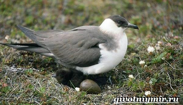 Поморник-птица-Образ-жизни-и-среда-обитания-поморника-8