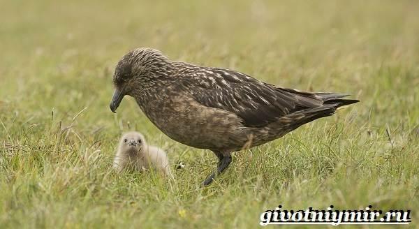 Поморник-птица-Образ-жизни-и-среда-обитания-поморника-9