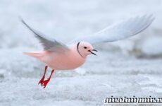 Розовая чайка. Образ жизни и среда обитания розовой чайки