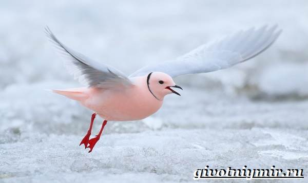 Розовая-чайка-Образ-жизни-и-среда-обитания-розовой-чайки-2