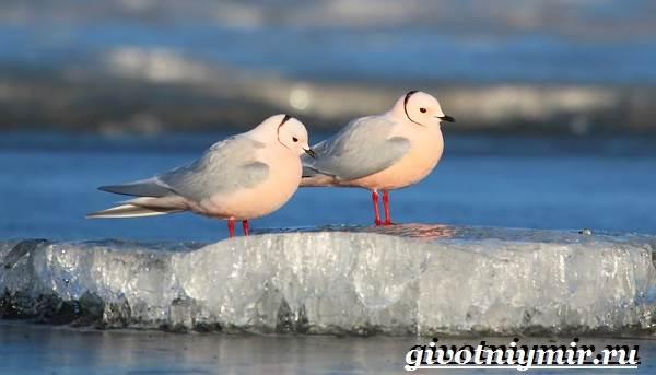 Розовая-чайка-Образ-жизни-и-среда-обитания-розовой-чайки-3