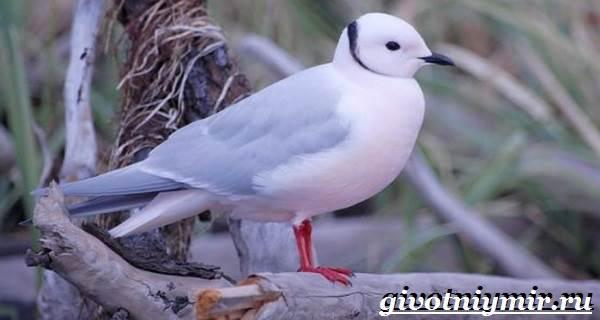 Розовая-чайка-Образ-жизни-и-среда-обитания-розовой-чайки-5