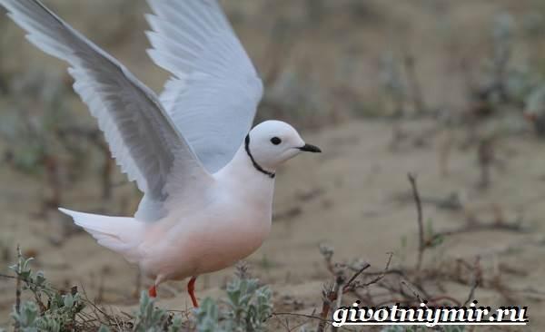 Розовая-чайка-Образ-жизни-и-среда-обитания-розовой-чайки-6