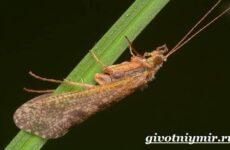 Ручейник насекомое. Образ жизни и среда обитания ручейника