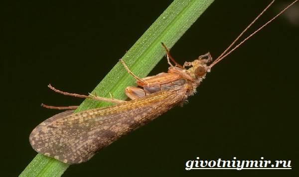 Ручейник-насекомое-Образ-жизни-и-среда-обитания-ручейника-1