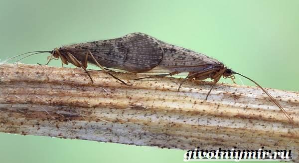 Ручейник-насекомое-Образ-жизни-и-среда-обитания-ручейника-3