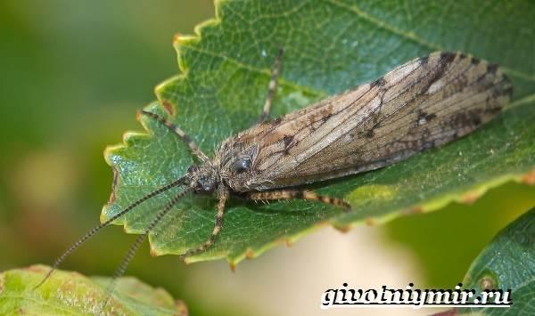 Ручейник-насекомое-Образ-жизни-и-среда-обитания-ручейника-5