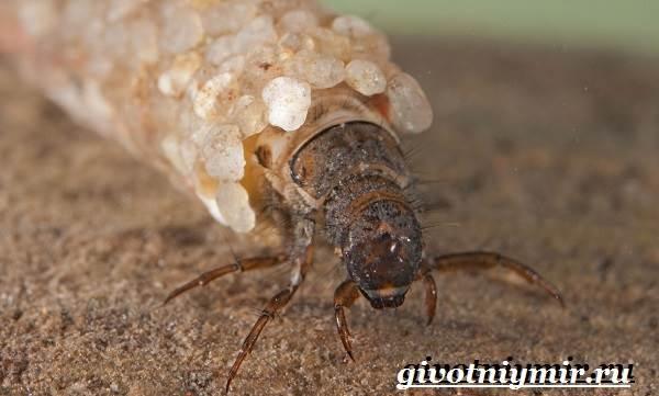 Ручейник-насекомое-Образ-жизни-и-среда-обитания-ручейника-8