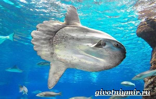 Рыба-луна-Образ-жизни-и-среда-обитания-рыбы-луны-1