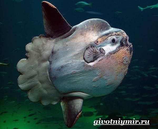 Рыба-луна-Образ-жизни-и-среда-обитания-рыбы-луны-2