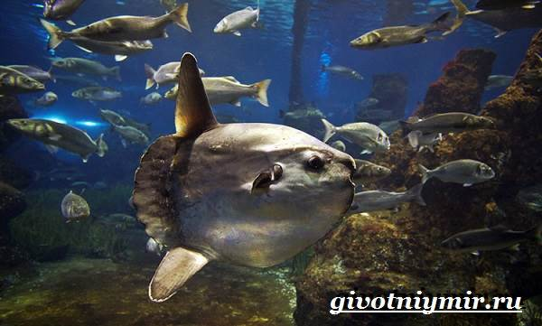 Рыба-луна-Образ-жизни-и-среда-обитания-рыбы-луны-5