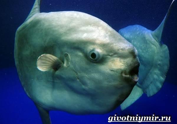 Рыба-луна-Образ-жизни-и-среда-обитания-рыбы-луны-7