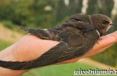 Салангана птица. Образ жизни и среда обитания саланганы