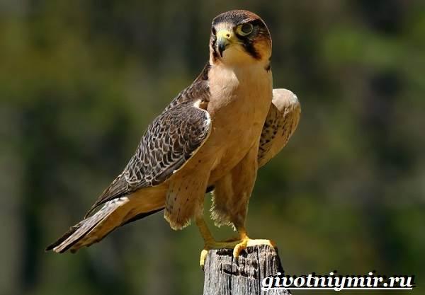Сапсан-птица-Образ-жизни-и-среда-обитания-сапсана-1