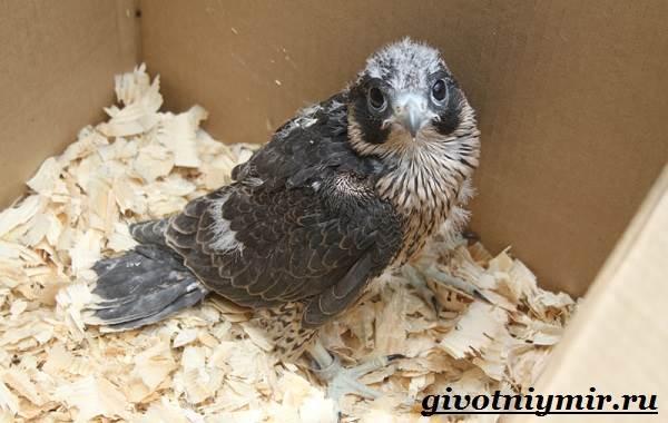 Сапсан-птица-Образ-жизни-и-среда-обитания-сапсана-10