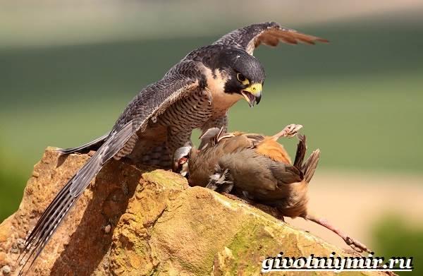 Сапсан-птица-Образ-жизни-и-среда-обитания-сапсана-11