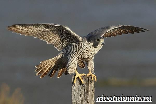 Сапсан-птица-Образ-жизни-и-среда-обитания-сапсана-2
