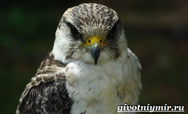 Сапсан-птица-Образ-жизни-и-среда-обитания-сапсана-3