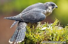 Сапсан птица. Образ жизни и среда обитания сапсана