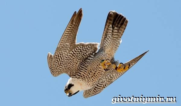 Сапсан-птица-Образ-жизни-и-среда-обитания-сапсана-6