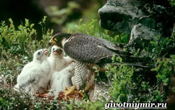 Сапсан-птица-Образ-жизни-и-среда-обитания-сапсана-8