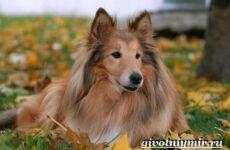 Шелти собака. Описание, особенности, уход и цена породы шелти