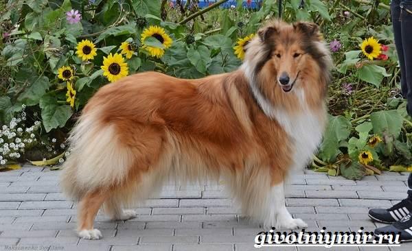 Шелти собака описание породы