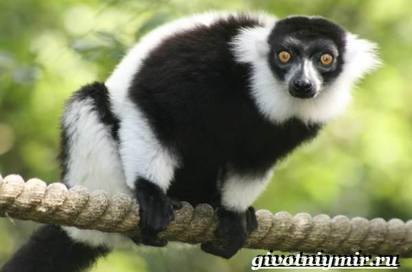 sifaka-lemur-obraz-zhizni-i-sreda-obitan
