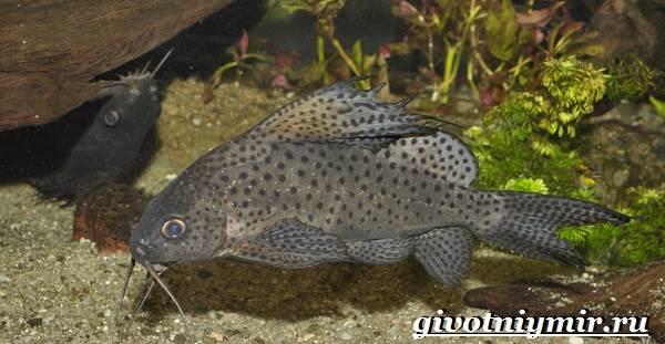 Синодонтис-сом-Описание-особенности-содержание-и-цена-рыбы-синодонтис-4