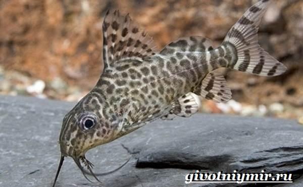 Синодонтис-сом-Описание-особенности-содержание-и-цена-рыбы-синодонтис-5