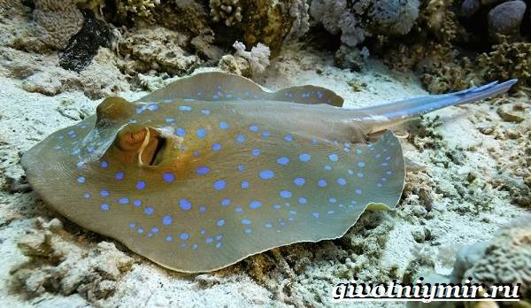 Скат-рыба-Образ-жизни-и-среда-обитания-рыбы-скат-1