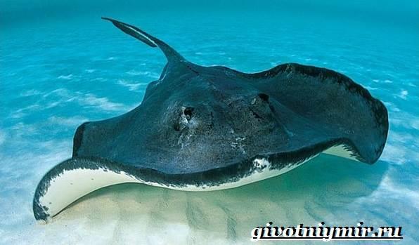 Скат-рыба-Образ-жизни-и-среда-обитания-рыбы-скат-2