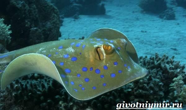 Скат-рыба-Образ-жизни-и-среда-обитания-рыбы-скат-3