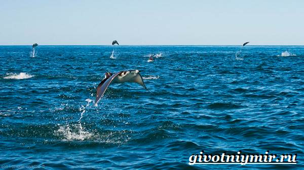 Скат-рыба-Образ-жизни-и-среда-обитания-рыбы-скат-5