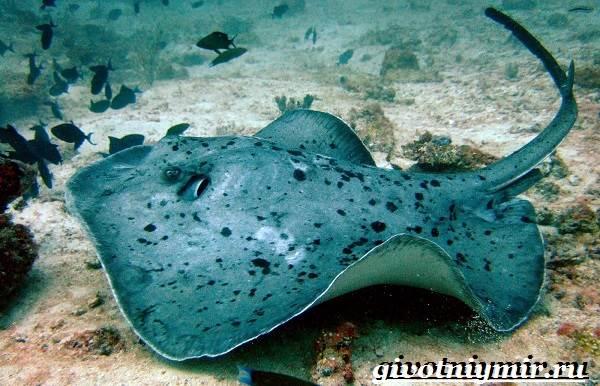 Скат-рыба-Образ-жизни-и-среда-обитания-рыбы-скат-6