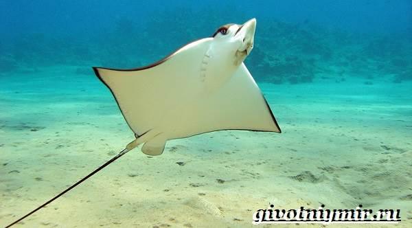 Скат-рыба-Образ-жизни-и-среда-обитания-рыбы-скат-8