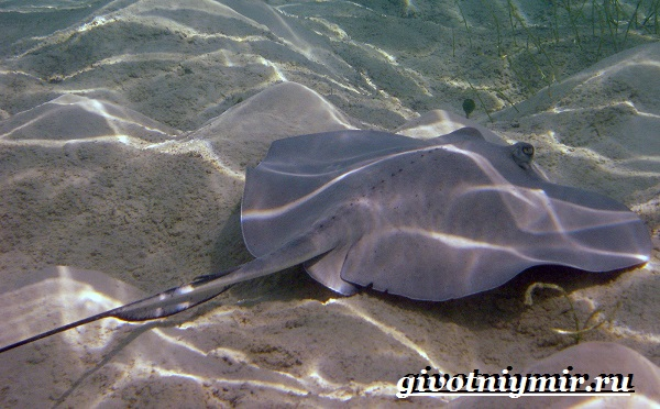 Скат-рыба-Образ-жизни-и-среда-обитания-рыбы-скат-9